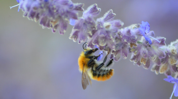 Natalia Radcliffe - Bees in Lavender