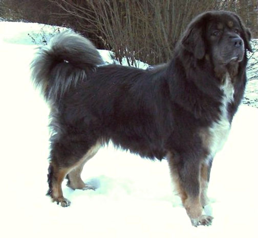 Tibetan Mastiff -The Most Expensive Dog in the world