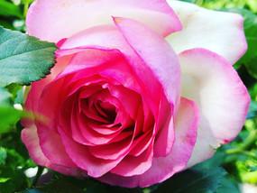 #Der Duft meiner #Rosen verleitet mich zum #Träumen, könnt ihr es auch riechen???