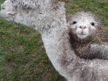 The Alpacas Are Coming!