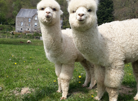 Take these 2 for a trial trek at The Welsh Alpaca Show