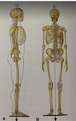 骨骼系統的重力線
