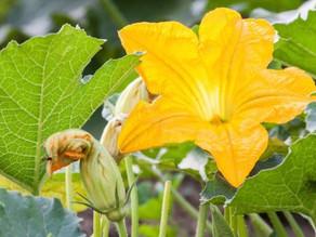 La flor de calabaza. Una maravilla culinaria de México.