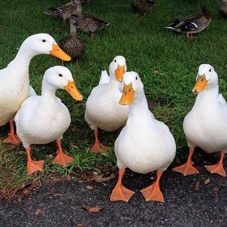Pekin ducks photo