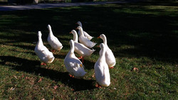 Pekin ducks run away