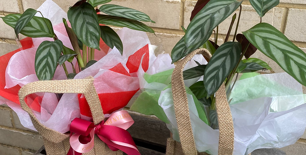 Ctenanthe Plant in Hessian Bag