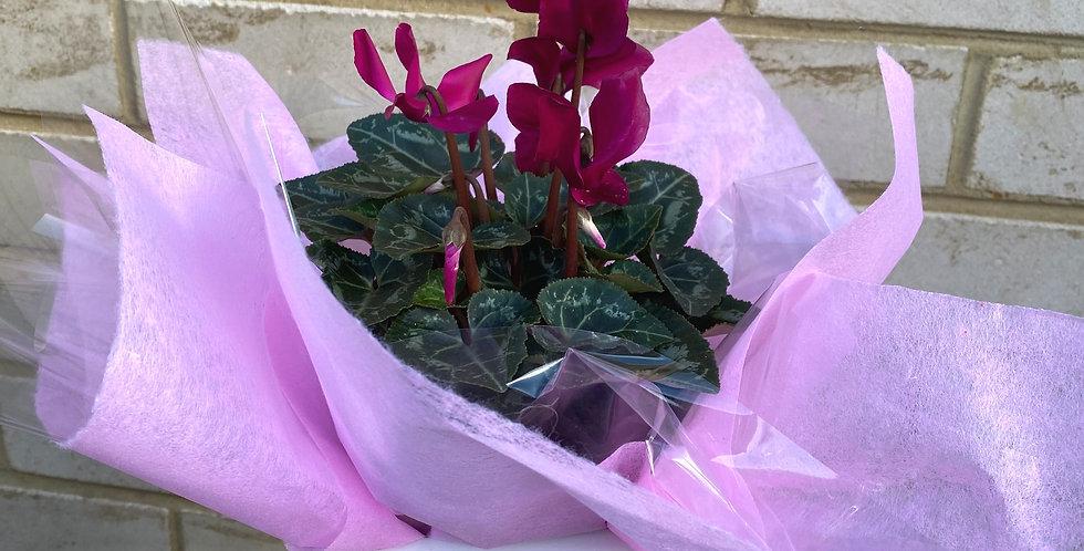 Cyclamen Plant (in ceramic pot)