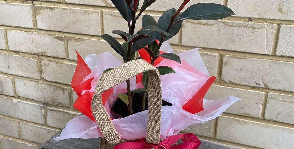 Rubber Plant in Hessian Bag