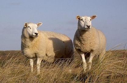 """Vriezenveen door de tijd """"schapen"""""""