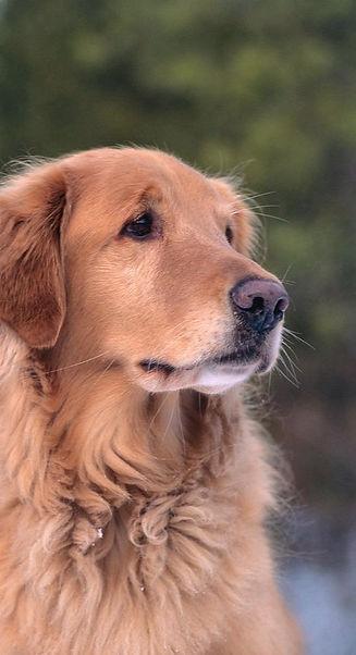 mature-golden-retriever-dog-portrait-ani