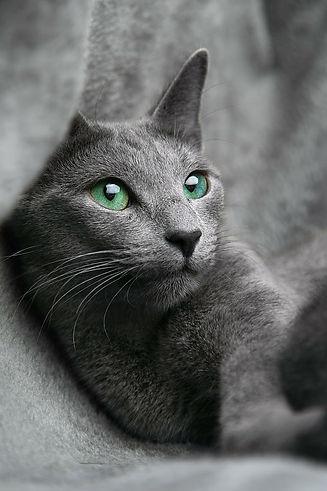 cat-russian-blue-look.jpg