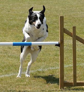 dog-agility-fitness-jump.jpg