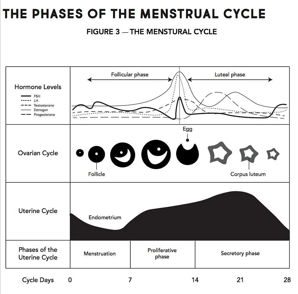Graph illustrating the phases of the menstrual cycle (Source: Amanda Laird, Heavy Flow)