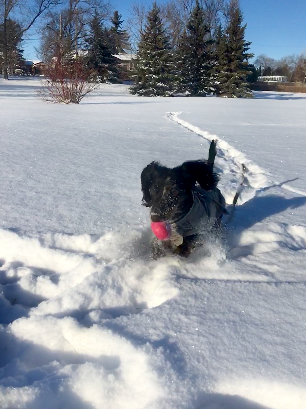 Black dachshund running through fresh snow with a pink ball in his mouth