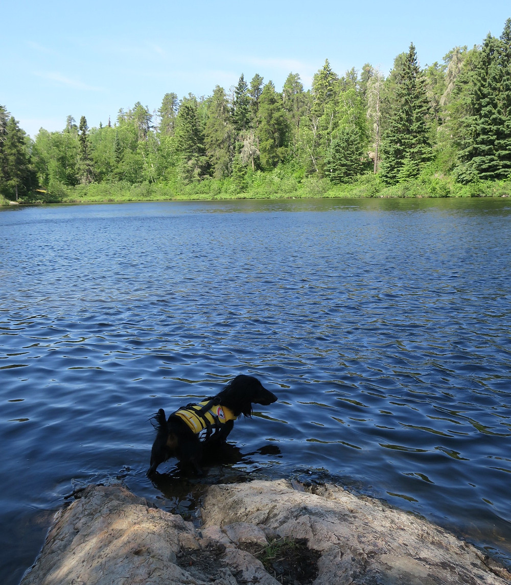miniature dachshund in a yellow lifejacket standing on a rock at the edge of a lake