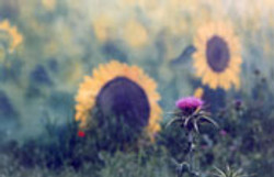 sun-f2.jpg