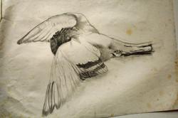 'pigeon', 'יונה'