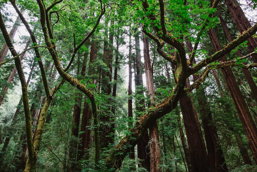Muir Woods Photo