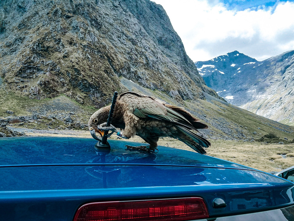 Kea attack a car Milford Sound