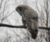 Great grey owl (strix nebulosa)__#owl #o