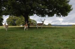 Fallow Deer, Chatsworth House