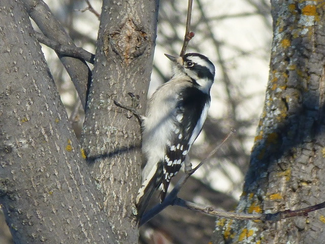 Downy woodpecker. Photo by Denis DePape.