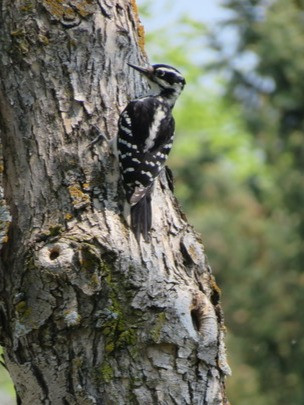 Hairy woodpecker - notice the longer bill compared to the hairy woodpecker. Photo by Denis DePape.