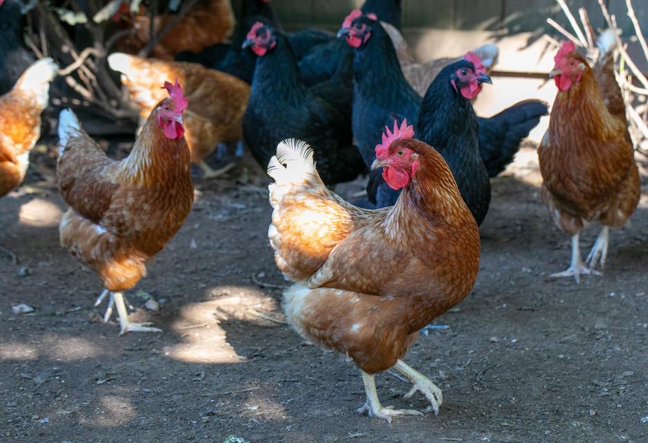 MRP_pretty chickens mixed.jpg