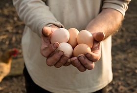 Farm fresh eggs from Red Comets and Black Australorps