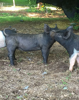 Heritage Free-Range Pork