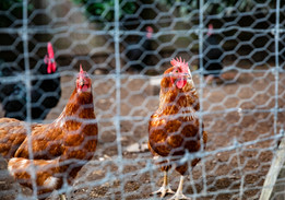 MRP_chickens behind the fence.jpg