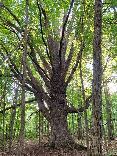 Oak Tree_1.jpeg