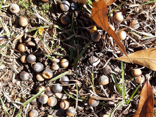 A Hundred Thousand Little Acorns