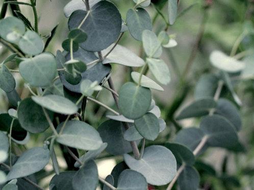 Eucalyptus brown sugar scrub 4oz