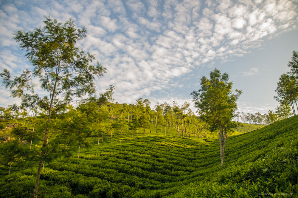 TEA PLANTATION OF MUNNAR