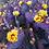 Thumbnail: Purple Prickly Pear