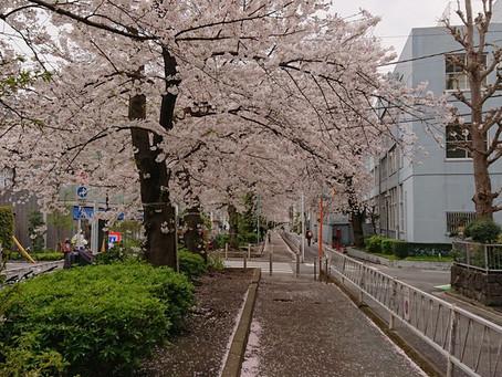 まだまだ桜は美しい。