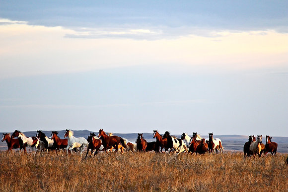 "Mounted Canvas Print - American Mustangs run on the Sanctuary (24"" x 16"")"