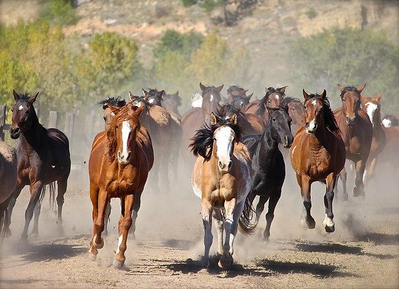 Mounted Canvas Print - Releasing the Mustang Mares Back to Range (in 2 sizes)