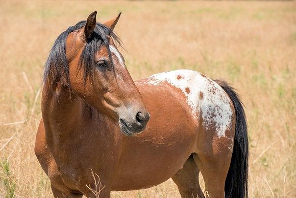 Appy Spanish Mustang Sponsor