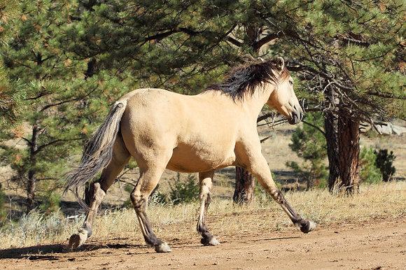 Spanish Mustang Honey Four Seasons Friend