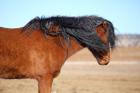 Wild Mustang, Spanish Mustang, Rescue Horse