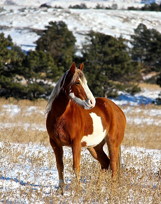 """Mounted Canvas Print - American Paint Mustang in Snow(16"""" x 24"""")"""