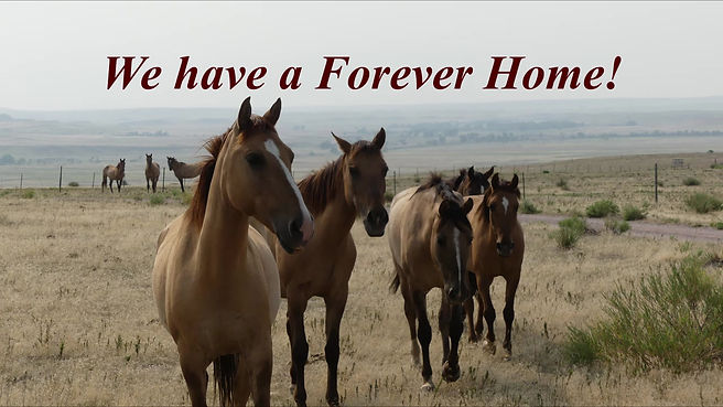 Gila Bend horses are released into freedom at the Black Hills Wild Horse Sanctuary