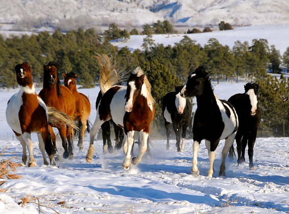 """Mounted Canvas Print - American Mustangs, Jump for Joy (36"""" x 24"""")"""
