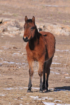 Sponsor Bay Colt with small star