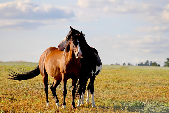"Mounted Canvas Print - Lil' Boss and Mustang mare (24"" x 16"")"