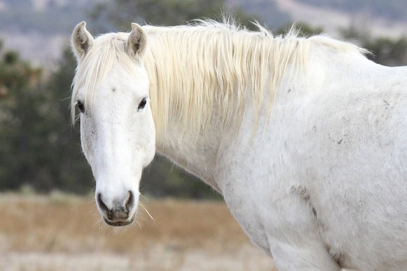 General American Mustang Sponsor