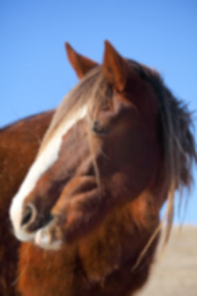 Wild Mustang, Spanish Mustan, Yellow Dun
