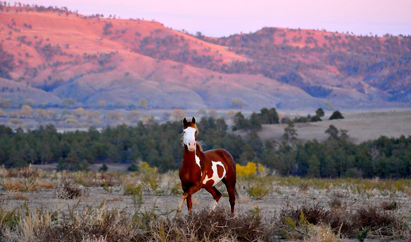 Mounted Canvas Print - American Paint Mustang at Dusk